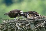 Ospreys feeding chick