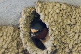 Cliff Swallow, Nest 2
