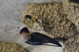 Cliff Swallow, Nest 6