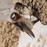 Cliff swallow on nest