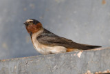 Cliff swallows from Gallup Park, July 5/6, 2007