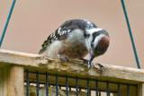 Woodpecker question #1