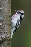 Woodpecker question #3