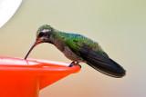 Magnificant Hummingbird (?)