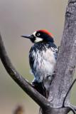 Acorn Woodpecker male