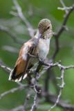 Rufous Hummingbird, Female