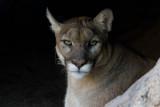 Puma (captive)
