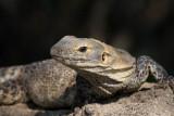 Spiny Iguana
