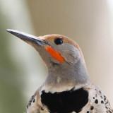 Gilded Flicker (close up)