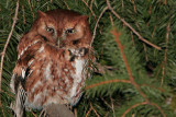 Eastern Red Screech Owl