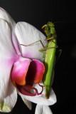 Grooming Mantis II