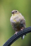 American Goldfinch I.jpg