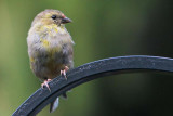 American Goldfinch II.jpg