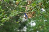 western bluebird3.jpg