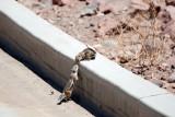golden mantle ground squirrels