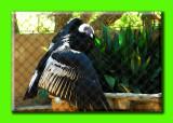 andean condor.jpg