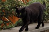 green eyes black cat