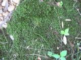 green shade moss.JPG