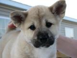 Meet Sueki the Akita Pup.jpg