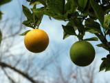 Fresh Citrus.jpg