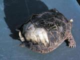 Worn Turtle.jpg