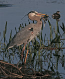 Great Blue Heron with mouthful.jpg
