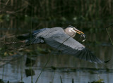 Great Blue Heron in Flight.jpg