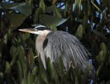 Great Blue Heron in the grass closeup.jpg