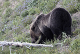Grizzly eating grass in the wildflowers.jpg