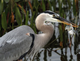 Great Blue Heron with mouthful dripping water.jpg