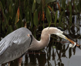 Great Blue Heron shaking food.jpg