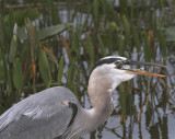 Great Blue Heron Swallowing.jpg