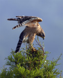 Lake Hollingsworth Red Shoulder Hawk Spreading Wings.jpg