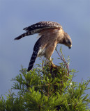 Lake Hollingsworth Red Shoulder Hawk Spreading wings 2.jpg