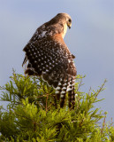 Lake Hollingsworth Red Shoulder Hawk Spreading Wings 4.jpg