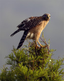Lake Hollingsworth Red Shoulder Hawk Looking At Camera.jpg