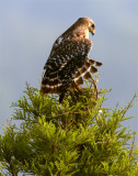 Lake Hollingsworth Red Shoulder Hawk Sentinel.jpg