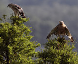 Two Red Shoulder Hawks at Lake Hollingsworth Looking Left.jpg