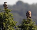Two Red Shoulder Hawks at Lake Hollingsworth One looking forward.jpg