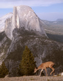Half Dome from Glacier Point with Deer.jpg