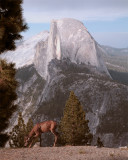 Half Dome from Glacier with Deer Grazing.jpg
