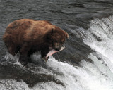 Bear at falls with salmon in mouth.jpg