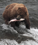 Bear at falls with salmon in mouth vertical.jpg