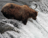 Bear at the falls with salmon jumping over his head.jpg