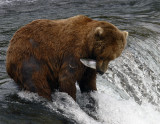 Bear at falls with salmon against fur.jpg