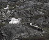 Dall Sheep on the hillside 2.jpg