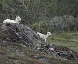Two Dall Sheep.jpg