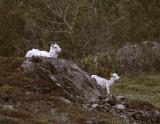 Two Dall Sheep 2.jpg