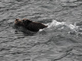 Sea Otter with baby 2.jpg