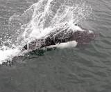 Dall Porpoise splash.jpg